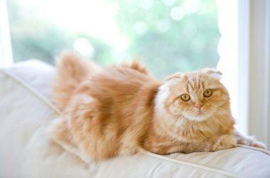 Brown Fluffy Cat