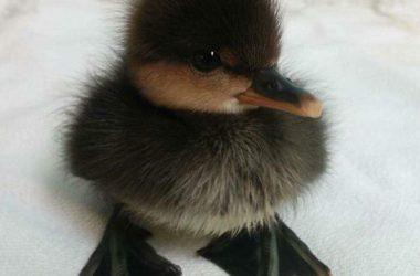 Free Baby Swan