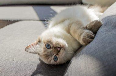 Free Fluffy Cat