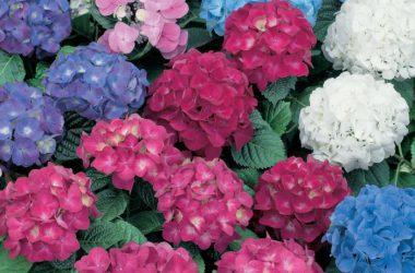 Lovely Hydrangea Flower