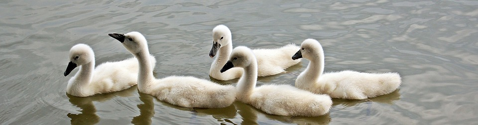 Nice Baby Swan