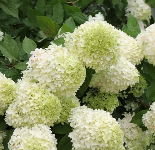 Nice Hydrangea Flower