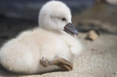 Top Baby Swan