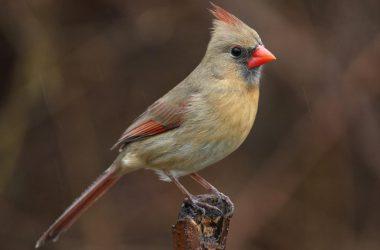 Top Cardinal Bird