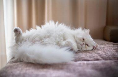 White Fluffy Cat