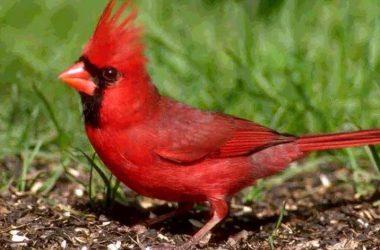 Widescreen Cardinal Bird