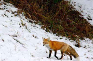 Free Red Fox