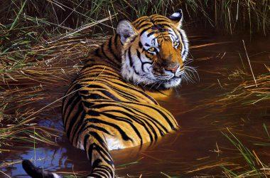 Nice Tiger Wallpaper