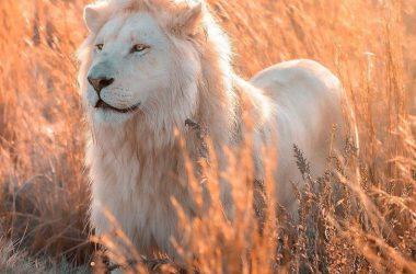 Nice White Lion