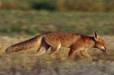 Super Red Fox