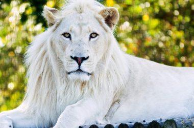 Super White Lion